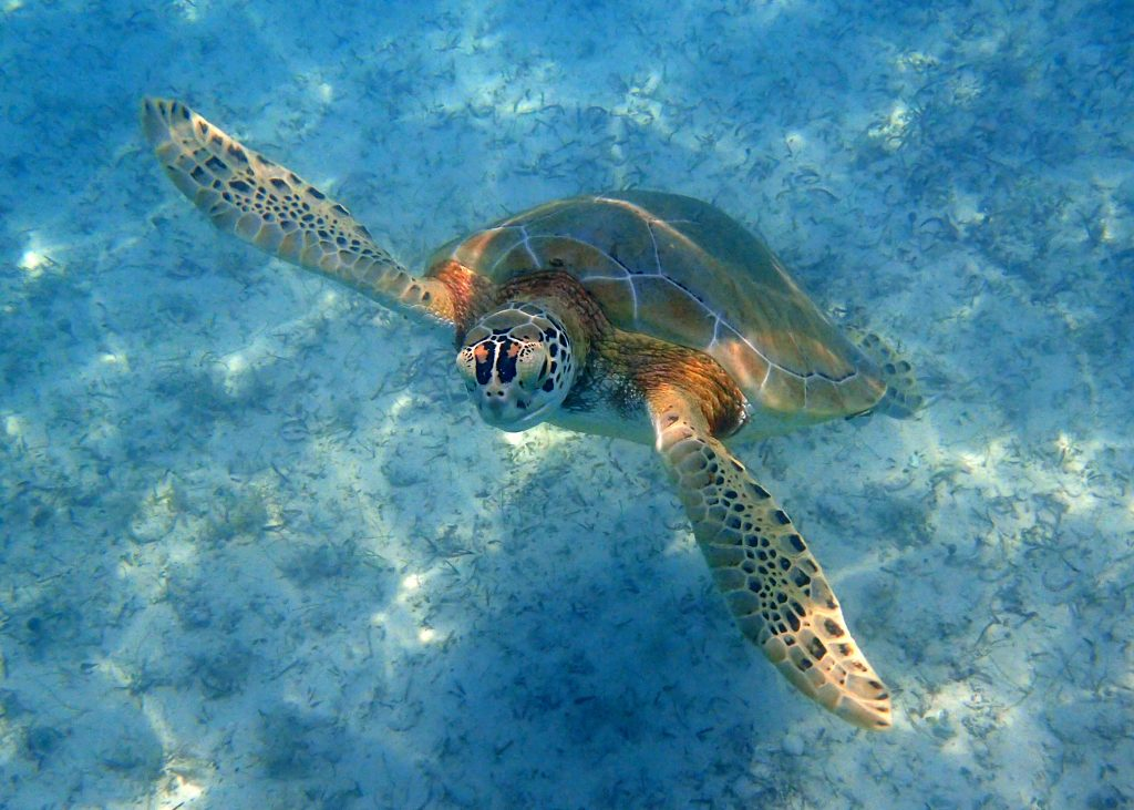 Sea Turtle swimming up to the surface for air in the clear blue caribbean sea.